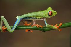 Costa Rica 2017- Frogs Heaven (nouailleric) Tags: costarica frogsheaven horquetas frog rainette rainetteàyeuxrouge rana wildlife viesauvage nature canon eos7d sigma 70300f456apodgmacro macrophotograhie macro voyage travel rainforest