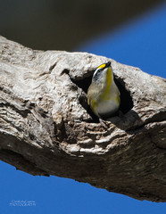 Striated Paralote (ChrisKirbyCapturePhotography) Tags: striatedpardalote bird australianbird pardalote nesting chriskirbycapturephotography
