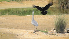 Héron attaqué par une corneille / Heron attacked by a crow (.Steph) Tags: heron corneille corbeau crow attaque attack oiseau bird animal nature