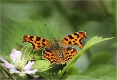 Comma Butterfly (Charles Connor) Tags: commabutterflies comma butterflies colours macro macrophotography insectmacro flyinginsects insectphotography canon100400lens canon7dmk11