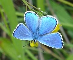 Polyommatus bellargus (Adonis Blue) (TPittaway) Tags: polyommatusbellargus adonisblue greece june2017 lycaenidae lepidoptera butterflies tonypittaway delphi thessaly
