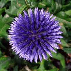 Thinking Morality Alone. Blue Hedgehog Thistle, Echinops ritro 'Veitch's Blue', Prinsentuin, Groningen, The Netherlands (Rana Pipiens) Tags: marcusaurelius fate prinsenhofgroningenthenetherlands echinopsritroveitchsblue bluehedgehogthistle memorial