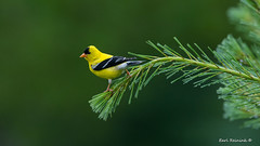 Goldfinch on Pine bough (Earl Reinink) Tags: finch songbird goldfinch earl reinink earlreinink nikon d810 600mm algonquinprovincialpark pine whitepine spring nature bird animal ztddtdidia