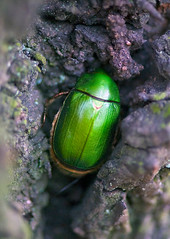 Green Chafer, Anomala cuprea, Hiding In Tree Bark (aeschylus18917) Tags: macro green nature japan insect nikon g beetle micro  nikkor f28 vr chafer pxt coleoptera 105mm insecta  105mmf28 scarabaeidae rutelinae  105mmf28gvrmicro anomala d700 nikkor105mmf28gvrmicro   rutelini danielruyle aeschylus18917 danruyle druyle   cupreouschafer  anomalina anomalacuprea