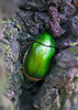 Green Chafer, Anomala cuprea, Hiding In Tree Bark (aeschylus18917) Tags: danielruyle aeschylus18917 danruyle druyle ダニエルルール ダニエル ルール japan 日本 nikon d700 105mmf28gvrmicro macro nature insect beetle green insecta coleoptera 105mmf28 nikkor105mmf28gvrmicro chafer cupreouschafer ドウガネブイブイ scarabaeidae rutelinae rutelini anomalina anomala anomalacuprea 甲虫 兜虫 カブトムシ 105mm pxt