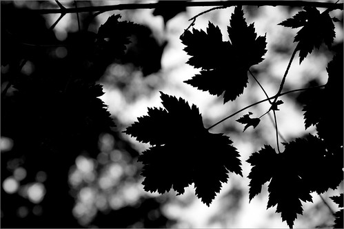 A Leafy Silhouette