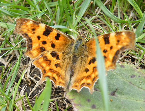 comma open wing