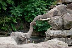 2010-07-29-12h15m16.IMG_4215 (A.J. Haverkamp) Tags: rotterdam dierentuin blijdorp diergaardeblijdorp httpwwwdiergaardeblijdorpnl asiaticelephant timber canonef100400mmf4556lisusmlens zoo aziatischeolifant