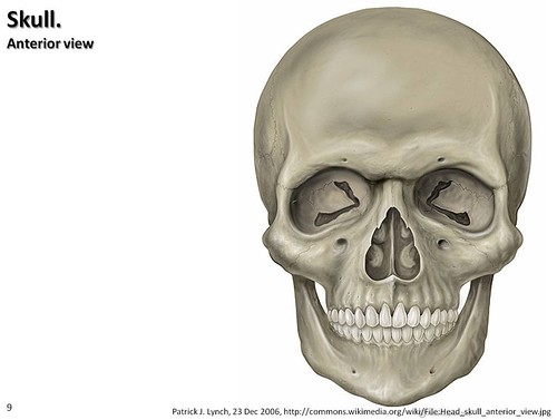 skull illustration anterior view axial skeleton visual atlas page 9