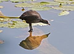 specchio, specchio delle mie brame.... (Antonio clic) Tags: bird birds canon reflex uccelli volo ala uccello piuma oasinaturalistica