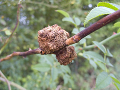 Gall wasp old