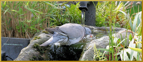 Wood Pigeon at the Pond Waterfall