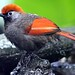 Red tailed laughing thrush