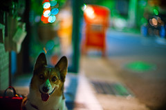 test shot (moaan) Tags: street leica test dog night digital 50mm lights corgi nightlights dof nightshot bokeh f10 kobe midnight utata noctilux welshcorgi 2010 m9 testshot firstshot pochiko leicanoctilux50mmf10 leicam9 gettyimagesjapanq1 gettyimagesjapanq2