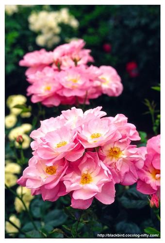 Rose 100522 #04