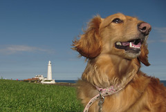 Annie the Dachshund (CWhatPhotos) Tags: whitly bay north east light house lighthouse blue sky saint marys st children canon s90 compact digital camera picture pictures photo photos foto fotos image images that have which contain powershot power shot with brown dachshund dachound dog pet animal hound compactcamera adobe lightroom paintshopprophotox2 animals big eyes doxie doxies dogs longhaired long haired weiner sausage wiener dackel teckle whitley dachounds red redhaired coat paw nation cwhatphotos flickr