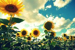 (artsy_T) Tags: summer sky ford yellow michigan sunflowers magical dearborn justtoclarify butnotthisone addedthistomysetofsunflowers andmostwereshotovertheyearsinsaline andafewoftheothers