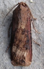 Dark swordgrass moth
