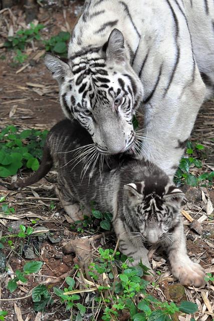 Un tigreau blanc devient noir !! 4965947007_6e9dcbc02f_z