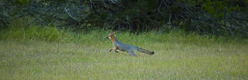 Grey Fox #2