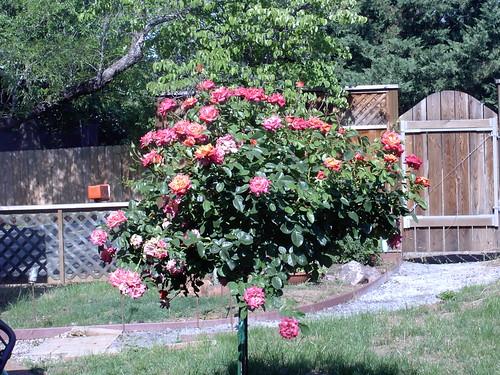 Rose Tree II 6-15-09