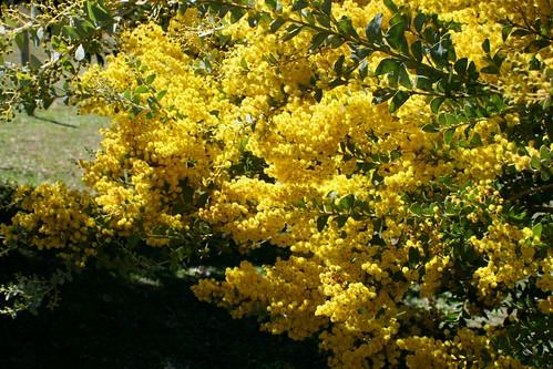 Acacia cultriformis image