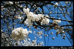 Cerezo Prunus avium - Flor