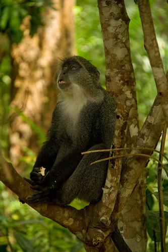 Eating Zanzibar Sykes' Monkey - Jozani Forest, Zanzibar, Tanzania