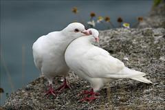 close your eyes and I'll kiss you... (*regina*) Tags: birds dove taube doves tauben bigmomma gamewinner thechallengegame challengegamewinner thechallengefactory