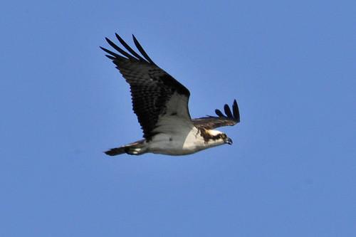 Trustom Pond NWR osprey 3