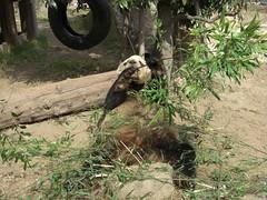Kou Kou 2008.02.25 (TaoTaoPanda) Tags: panda koukou ojizoo
