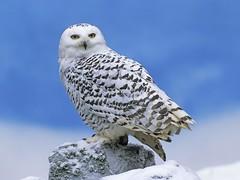 [フリー画像] 動物, 鳥類, フクロウ, シロフクロウ, 201105170100
