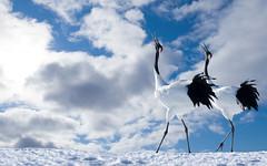 [フリー画像] 動物, 鳥類, ツル科, タンチョウ, カップル (動物), 201009182300