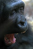 Boring! (Lea's UW Photography) Tags: zoo gorilla primate yawning canon7d leamoser