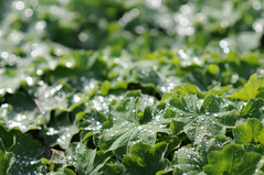 Green (H_v_M) Tags: green rain drops nikon groen bokeh blad druppel druppels bladeren alchemillamollis hvm ladysmantle vrouwenmantel regendruppel d300s afd85mmf18