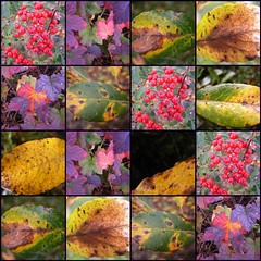 Autumn- Haust 2010 (Sivva) Tags: pink autumn winter red plant color macro green planta nature yellow closeup iceland leaf north nordic haust thingvellir garður icelandic vetur ber lauf náttura grænt plöntur reyniber laugavatn sivva nálagt