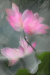 Lotus Flower - IMG_1499 (Bahman Farzad) Tags: flower macro yoga peace lotus relaxing peaceful meditation therapy   lotusflower lotusflowers lotuspetal lotuspetals    lotusflowerpetals lotusflowerpetal