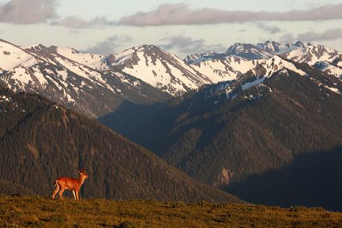 Deer at Hurrican ridge