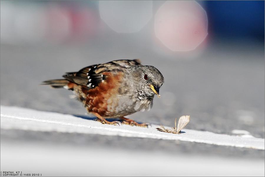 合歡山賞鳥