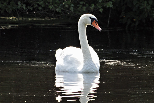 mute swan f ponds