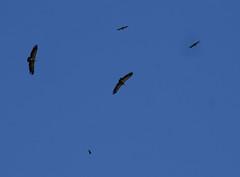 unter geiern (Christandl) Tags: salzburg bird animal fauna austria tiere sterreich vulture tier vogel autriche aut kaprun geier kitzsteinhorn pinzgau  gnsegeier tierwelt st slzbg