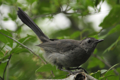 four ponds catbird