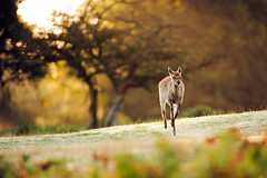 mom, wait for me! (andrew evans.) Tags: lighting morning trees light summer england sun nature fairytale forest sunrise golden countryside kent woods nikon bokeh wildlife deer ethereal sunrays wonderland storybook magical enchanted d3