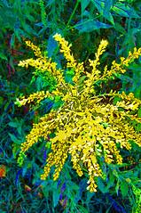 flower X    100_6573a (monophysite57-zzz) Tags: flowers flores flower nature colors yellow forest woods experiment amarillas