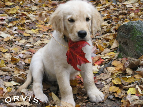 Orvis Cover Dog Contest - Leo