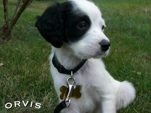 Orvis Cover Dog Contest - Tucker