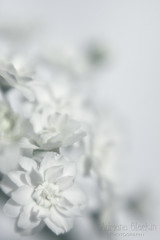 Day 259 of 365 (Adriana Glackin) Tags: flowers white blur macro lensbaby canon bokeh adriana muse delicate 50d maybush project365