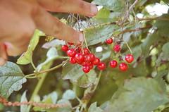 "Highbush Cranberries <a style=""margin-left:10px; font-size:0.8em;"" href=""http://www.flickr.com/photos/91915217@N00/4997198161/"" target=""_blank"">@flickr</a>"