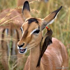 Go ahead, I'm listening... (gerdavs) Tags: southafrica wildlife impala krugernationalpark aepycerosmelampus redbilledoxpecker buphaguserythrorhynchus specanimal knp2010
