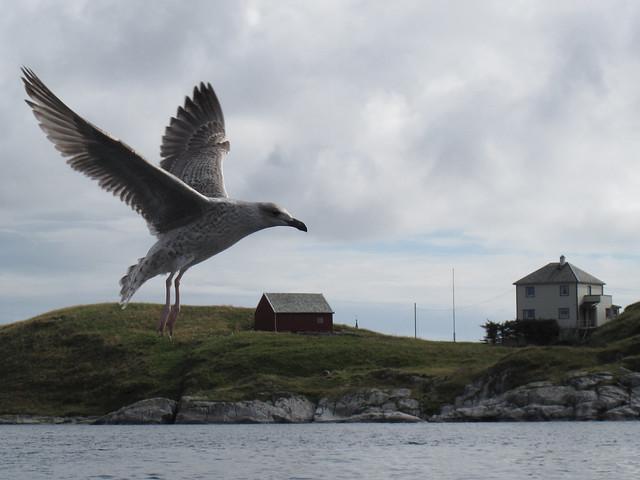 Seagull at Fedje